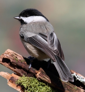 A chickadee, just like in the Bennett Farm books.